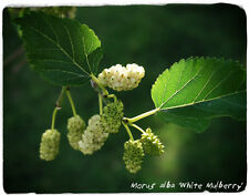 Morus alba 'White Mulberry' 100+ SEEDS