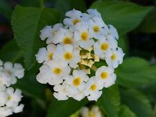 Lantana Ground Cover Perinneal Plant Silver Mound White Yellow Flowers SZ4P