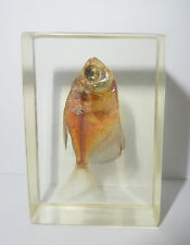 Fish Specimen BLACK WIDOW TETRA FISH very Nice Clear Teaching Aid