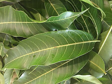 Farm Fresh Organic Mango Leaves 30 ~ Picked Fresh at Peak ~ Shipped Same Day USA