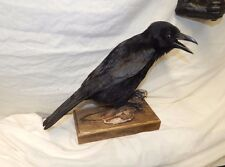 Taxidermy Crow,fixed to part of driftwood , Gothic , solid oak base
