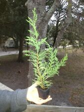 Leyland Cypress  8-12  INCHES TALL SHIPPED IN LOTS OF 10