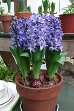 Winter Flower bulb - Hyacinth Flower bulb Blue colour - 3 bulb