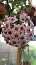 HOYA CARNOSA  VARIEGATED SAMLL HOUSE PLANT IN HANGING BASKET