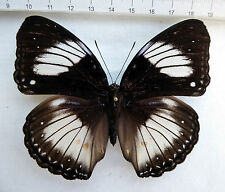 Hypolimnas diomea hembra, central Célebes, moluccas, indonesia n100