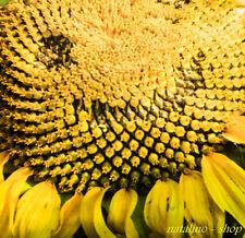 Sunflower Leak alder 20 Seeds Variety ZUM eat great Seeds Ukrainian variety