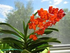 ASCOCENDA ORCHID HEALTHY HYBRID ORCHID PLANT FLOWERING SIZE