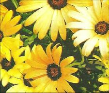 African Daisy - Mixed Colors - Approx. 200 seeds