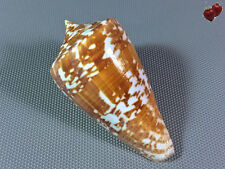 Conus amadis, Cuddalore, India, 77,4 mm, VERY NICE, OLD COLLECTION