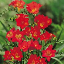 5 bulbos de Freesia Red