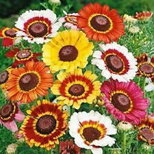 Painted Daisy Seed, Organic, 1000 Seeds, Beautiful Mulit Colored Blooms.