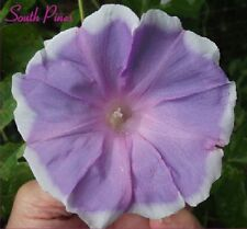 Fuji Musume Japanese Morning Glory Seeds - ipomoea Nil - Wisteria Girl