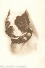 1900s Photo~ Boston Terrier  Puppy~Dog Dogs~Studded Collar~ NEW Large Note Cards