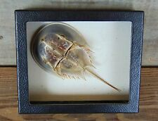 Real Taxidermy HORSESHOE CRAB Limulus framed shadowbox shellfish chelicerate USA