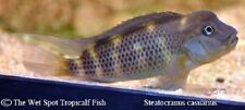 "(1) 2""+ Buffalo Head Cichlid Steatocranus casuarius WILD live fresh tropical"