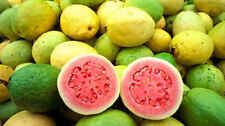 15 Guava tree seeds. Exotic plant, with delicious fruits! Free shipping