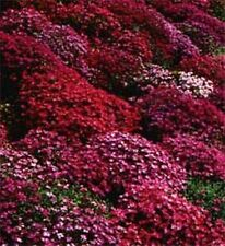 50+ AUBRIETA BRIGHT RED ROCK CRESS FLOWER SEEDS / PERENNIAL /  DEER RESISTANT