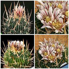 50 semi di Echinofossulocactus  kellerianus ,piante grasse,seeds cactus
