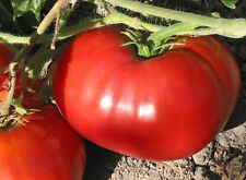 200 Delicious Heirloom Tomato Seeds - World Record 7lb Tomatoes - COMB S/H