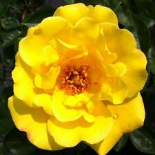 BARE ROOT Golden Showers Climbing Rose - Fast Growing Climbing Climber Rosa