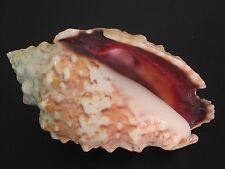 Collector Fave...STROMBUS PIPUS~77mm!!~Philippines SEASHELL