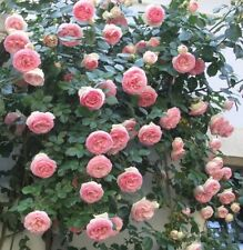 Rose Flower seed - Pink Climbing Rose Climber seed - Pack of 10 seeds