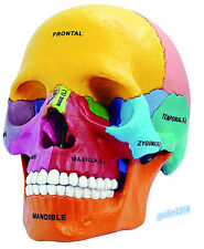 4D Vision Colorful Human Anatomical Mode Didactic Exploded Skull Model US STOCK