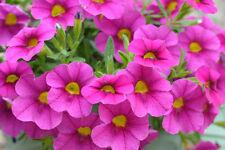 Petunia colores semillas 800 aprox. Petunia multiflora