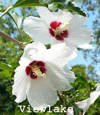 Rose of Sharon - Althea - magnificent flowers for hummingbirds, bees, and salad