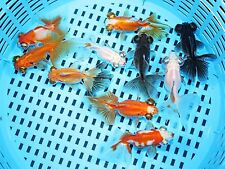 """1-2"""" CHINESE IMPORTED ASSORTED BUTTERFLY TAIL goldfish live aquarium fish koi"""
