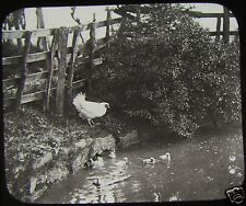 Glass Magic Lantern Slide HEN & DUCKLINGS IN POND C1890 PHOTO BIRDS FARM CHICKEN