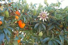 2x Passiflora Caerulea Hardy Passion Flower 25cm. Exotic Flowers Yellow Fruits