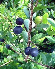 Chrysobalanus icaco COCOPLUM sweet exotic tropical plum edible fruit seed 5 SEED