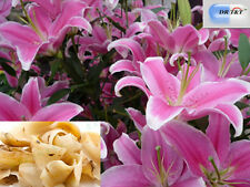 DR T&T™ 500g dry herb Bai He (Lily Bulb), Bulbus Lilii