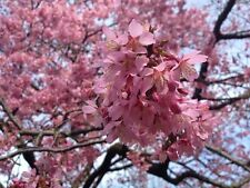 "Okame Flowering Cherry Tree - Prunus incam Established - 2.5"" Potted - 3 plants"