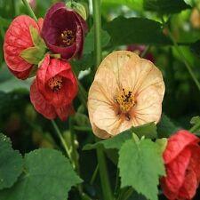 Abutilon Bellevue Mix Flower Seeds (Abutilon Hybridum) 50+Seeds
