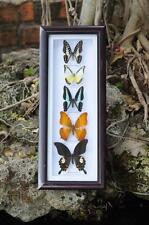 Real 5 Butterfly Garden Plans Display Taxidermy Insect Framed - Beautiful #BT06