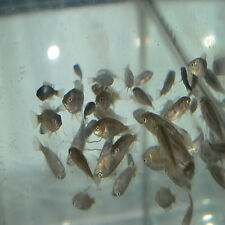 Mozambique Tilapia SALE!  CHEAP! FREE SHIPPING 25 FISH.  WEATHER PERMITTED ONLY.