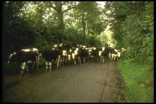 017094 Cows On The Road Near Cashel A4 Photo Print