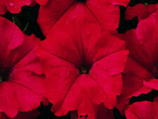 50 Pelleted Candypops Red Pelleted Petunia Seeds Garden Starts CANDY POPS