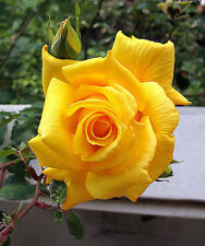 Climbing Royal Gold Rose  Live Plant Bare Rooted