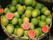 100SEEDS ORGANIC  APPLE GUAVA FRUIT Guajava Guayaba Pera+20SEEDS PAPAYA  FREE