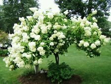 Tree Hydrangea! Hardy fast growing shrub/tree! Big flowers! Showy! Fresh seeds