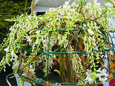Wisteria longissmia alba - GRAFTED 6.5ft SIZE! Shipped at 6.5ft, 2-3 stems