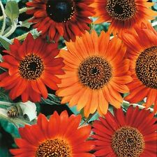 Sunflower Earthwalker 30 Seeds Garden Seeds 2u
