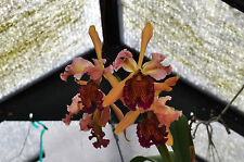 Cattleya dowiana v. rosita absolutely stunning Catt species great flask premium!