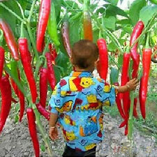 50X Giant Hot Rare Vegetable Plant Seeds Red Spicy Chili Pepper Spices SKUwx1621