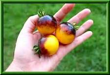 Rare Yellow Bumble Bee Tomato Seeds! Comb. S/H  See our Store for Rare Seeds!