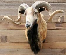 STUNNING CORSICAN Ram Sheep  MOUFLAN Taxidermy Head Shoulder Mount FULL CURL