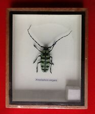 REAL RARE BLUE GREEN LONGHORN ANTENA BEETLE ANOPLOPHORA ELEGANS TAXIDERMY INSECT